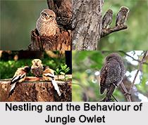 Jungle Owlet, Indian Bird