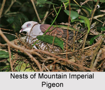 Mountain Imperial Pigeon, Indian Bird