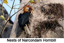 Narcondam Hornbill, Indian Bird