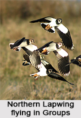 Northern Lapwing, Indian Bird