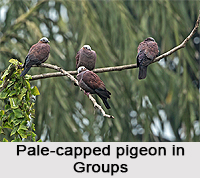 Pale-Capped Pigeon, Indian Bird