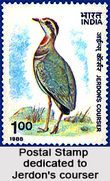 Jerdon's Courser, Indian Bird