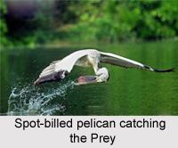 Spot-Billed Pelican, Indian Bird
