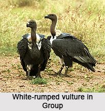 White-Rumped Vulture, Indian Bird