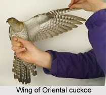 Oriental Cuckoo, Indian Bird