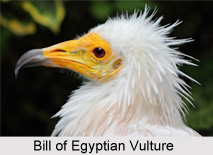 Egyptian Vultures, Indian Bird