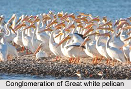Great White Pelican, Indian Bird