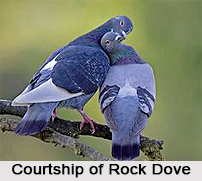 Rock Dove, Indian Bird