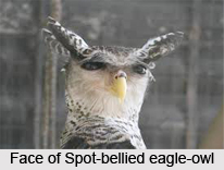 Spot-Bellied Eagle-Owl, Indian Bird