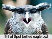 Spot-Bellied Eagle-Owl, Indian Bird