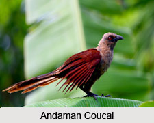 Andaman Coucal, Indian Bird