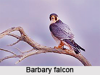 Barbary Falcon, Indian Bird