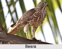 Besra, Indian Bird