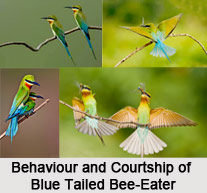 Blue-Tailed Bee-Eater, Indian Bird