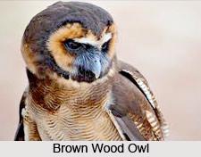 Brown Wood Owl, Indian Bird