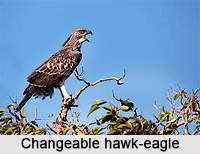 Changeable Hawk-Eagle, Indian Bird