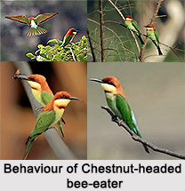 Chestnut-Headed Bee-Eater, Indian Bird