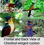 Chestnut-Winged Cuckoo, Indian Bird