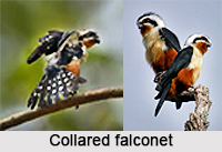 Collared Falconet, Indian Bird