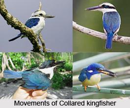 Collared Kingfisher, Indian Bird