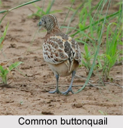 Common Buttonquail, Indian Bird