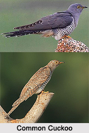 Common Cuckoo, Indian Bird