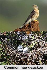 Common Hawk-Cuckoo, Indian Bird
