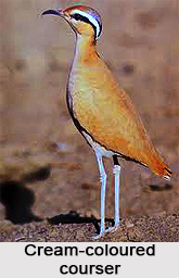 Cream-coloured courser, Indian Bird