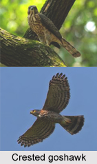 Crested Goshawk, Indian Bird