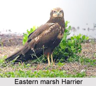 Eastern Marsh Harrier, Indian Bird