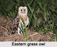 Eastern Grass Owl, Indian Bird