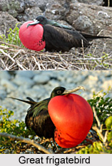 Great Frigatebird, Indian Bird
