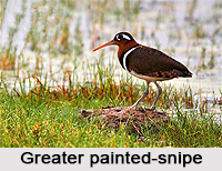 Greater painted-snipe, Indian Bird