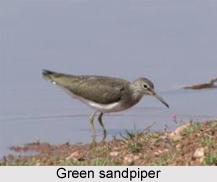 Green Sandpiper, Indian Bird