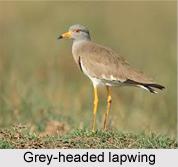 Grey-Headed Lapwing, Indian Bird