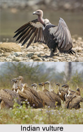 Indian Vulture, Indian Bird