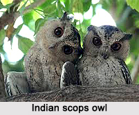 Indian Scops Owl, Indian Bird
