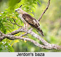 Jerdon's baza, Indian Bird