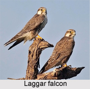 Laggar Falcon, Indian Bird