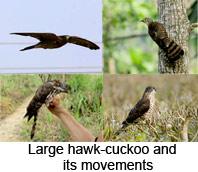 Large Hawk-Cuckoo, Indian Bird