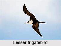 Lesser Frigatebird, Indian Bird