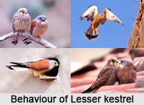 Lesser Kestrel, Indian Bird