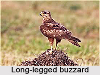 Long-Legged Buzzard, Indian Bird