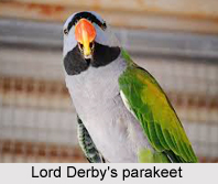 Lord Derby's Parakeet, Indian Bird