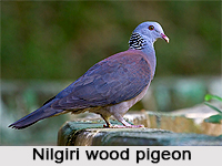 Nilgiri Wood Pigeon, Indian Bird