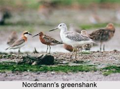 Nordmann's Greenshank, Indian Bird