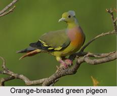 Orange-Breasted Green Pigeon, Indian Bird