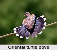 Oriental Turtle Dove, Indian Bird