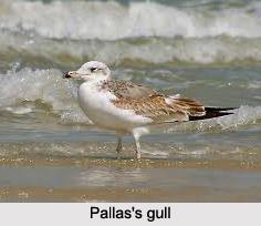 Pallas's Gull, Indian Bird