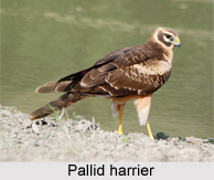 Pallid Harrier, Indian Bird